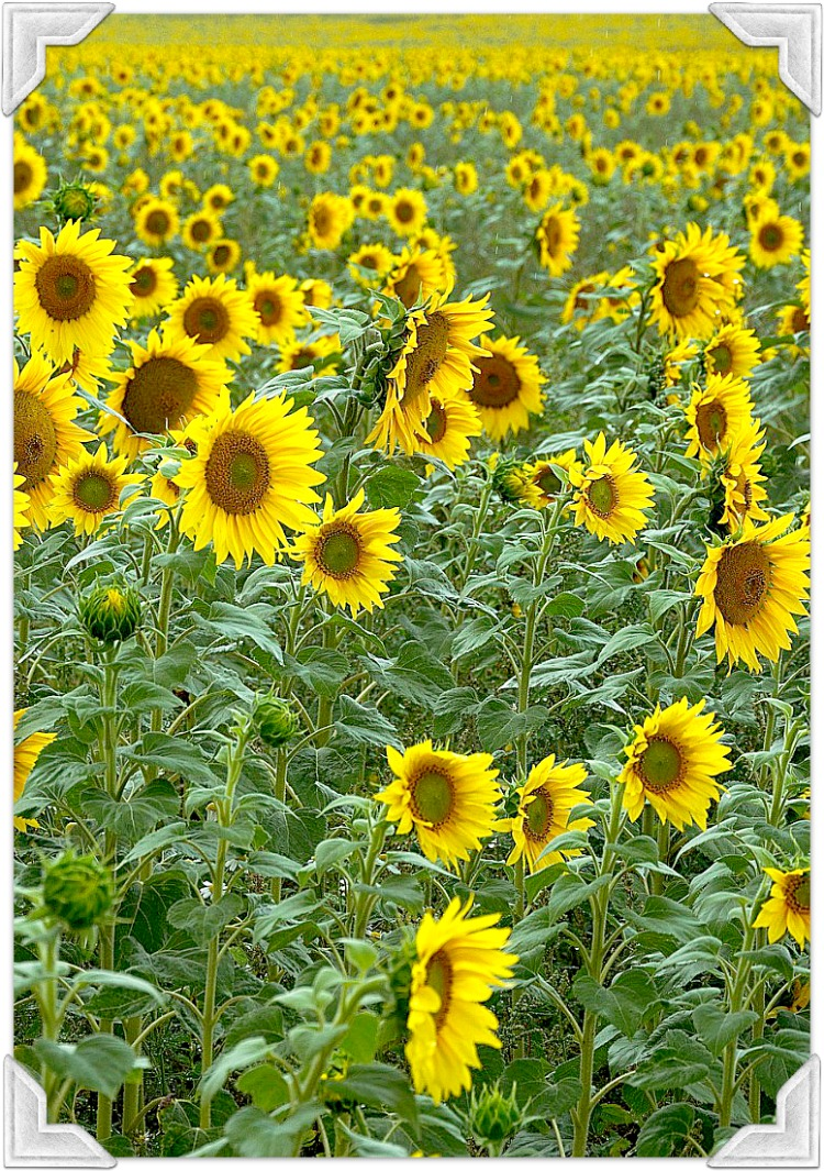 sunflowers in france