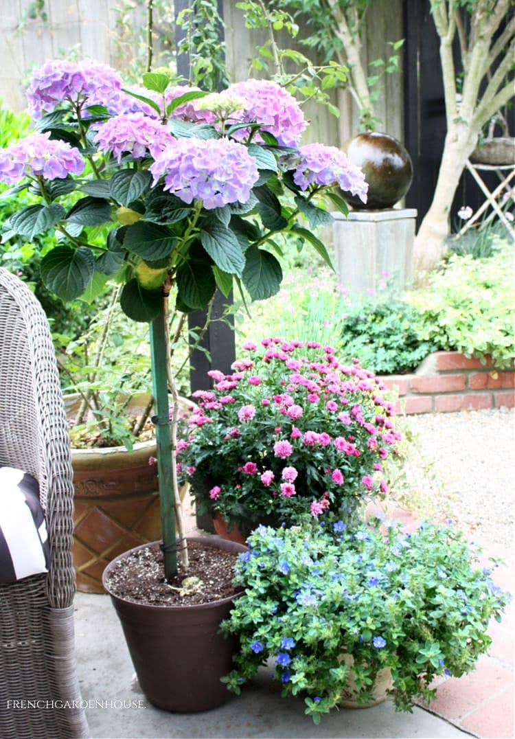 summer hydrangea topiary