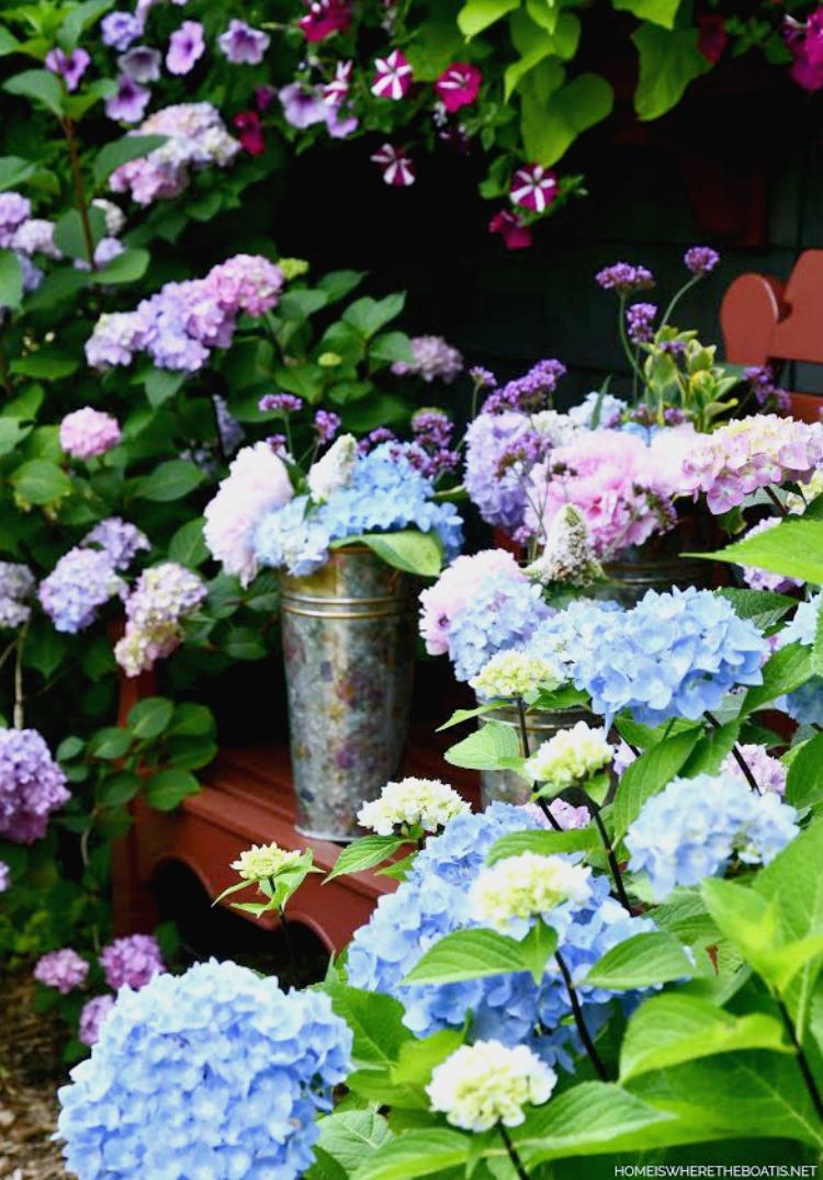hydrangeas in the summer garden