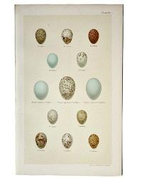 Antique Lithograph Cuckoo Eggs Print