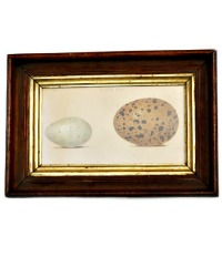 Antique Egg Print in Wood and Gilt Frame