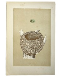 Antique Engraved Nest & Egg Chaffinch Print