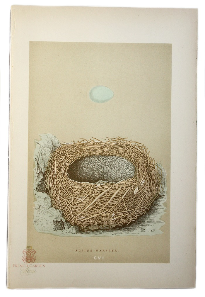 Antique Engraved Nest & Egg Alpine Warbler Print
