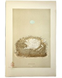 Antique Engraved Nest & Egg Redstart Print