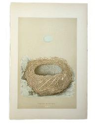 Antique Engraved Nest & Egg Alpine Warbler Print