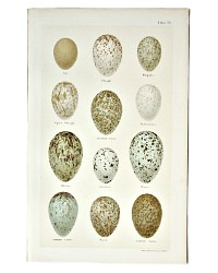 Antique Lithograph Raven and Crow Eggs Print