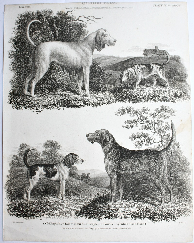 Antique Early 19th Century Dogs Steel Engraving Beagle,Bloodhound