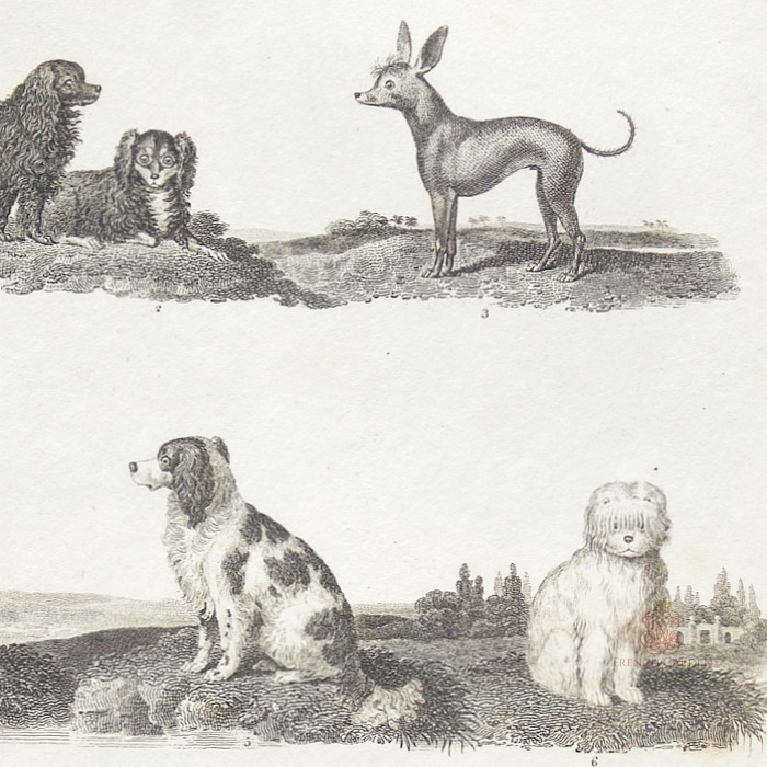 Antique Early 19th Century Dogs Steel Engraving Spaniels Print