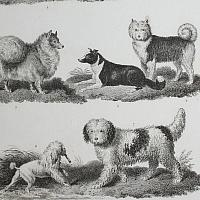 Antique Early 19th Century Dogs Steel Engraving Shepherd Pomeranian Print