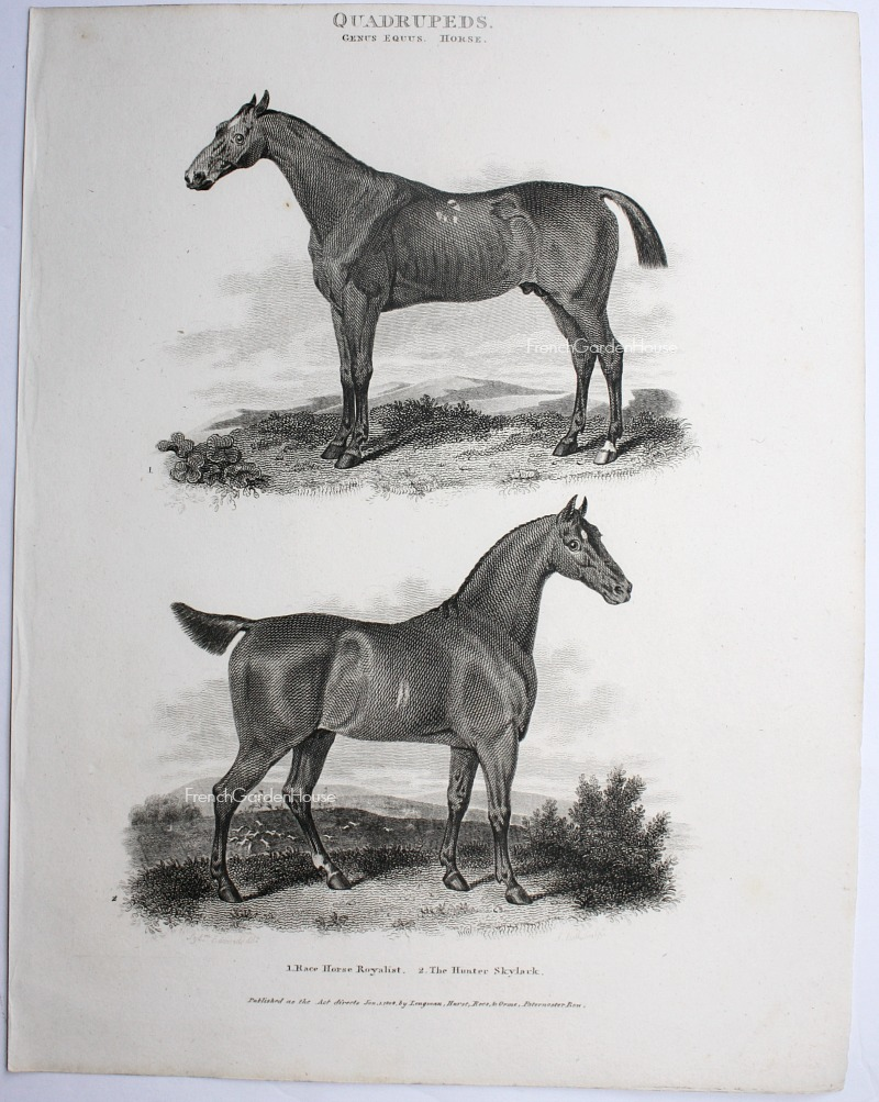 Antique Early 19th Century Steel Engraving Race Horse