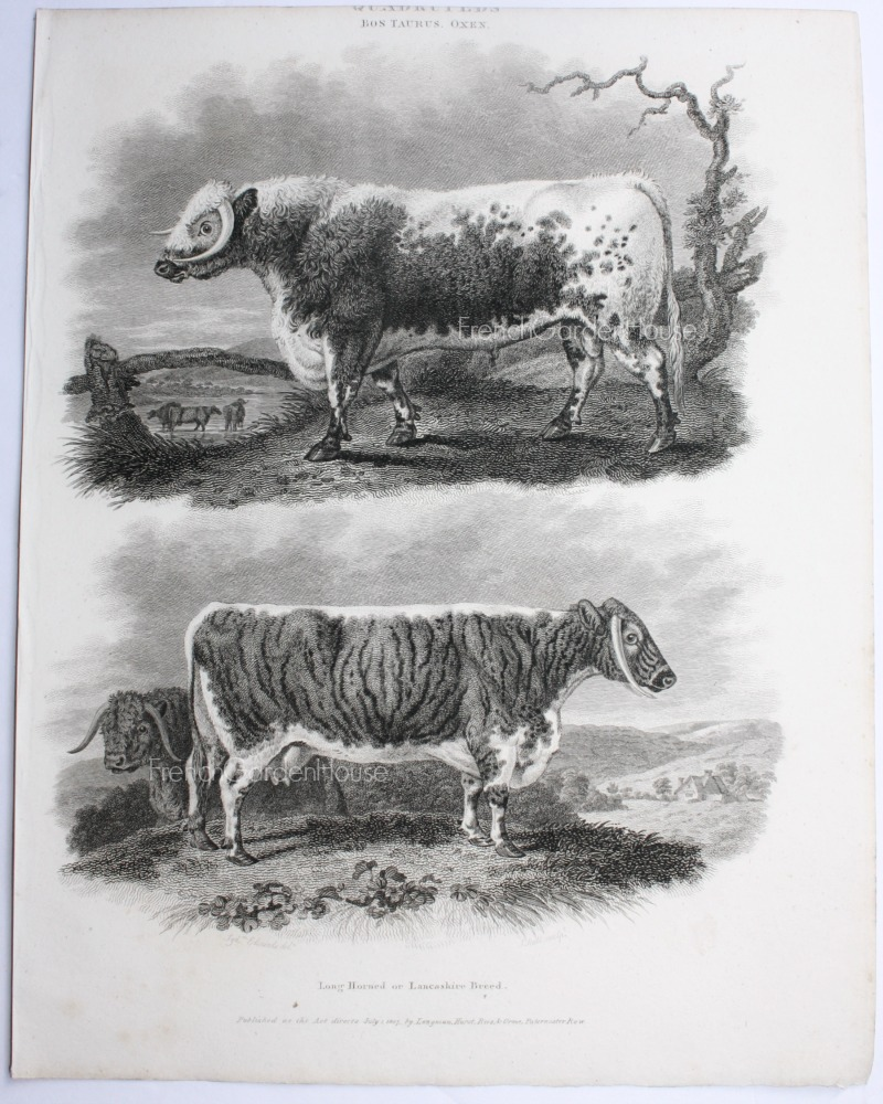 Antique Early 19th Century Steel Engraving Long Horn