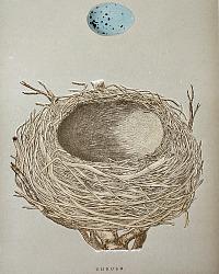 Antique Engraved Nest & Egg Thrush Print