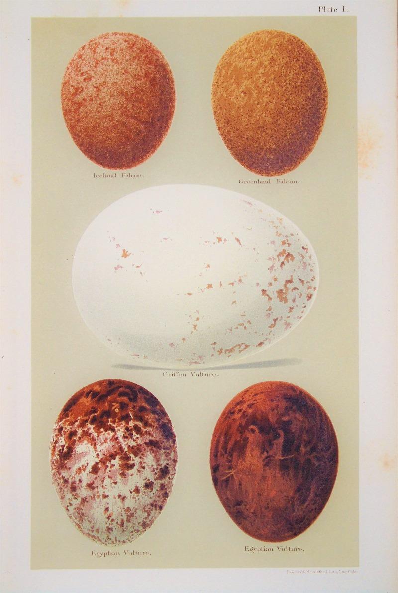 Antique Lithograph Vulture Eggs Print