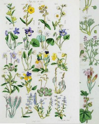 Antique Botanical Hand Colored Engravings Violets Set of 2