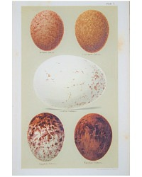 Antique Lithograph Vulture Eggs Print
