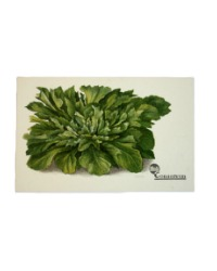 Antique Chromolithograph Vegetable Postcard Lettuce