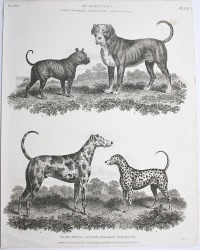 Antique Early 19th Century Dogs Steel Engraving Dalmatian, Mastiff, Bulldog Print