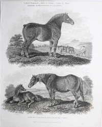 Antique Early 19th Century Steel Engraving Duke of Bedford Horses