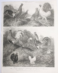 Antique Early 19th Century Poultry Steel Engraving Bantam and Silky