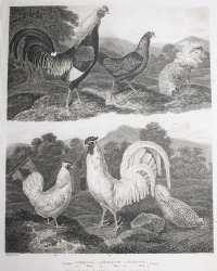 Antique Early 19th Century Poultry Steel Engraving Hen
