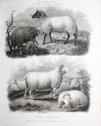 Antique Early 19th Century Steel Engraving Norfolk Sheep