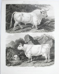 Antique Early 19th Century Steel Engraving Wild Scottish Ox
