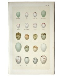 Antique Lithograph Wren and Creeper Eggs Print