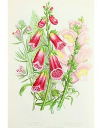 Antique Botanical Chromolithograph Print Foxgloves