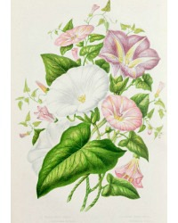 Antique Botanical Chromolithograph Print Field Bind Weed