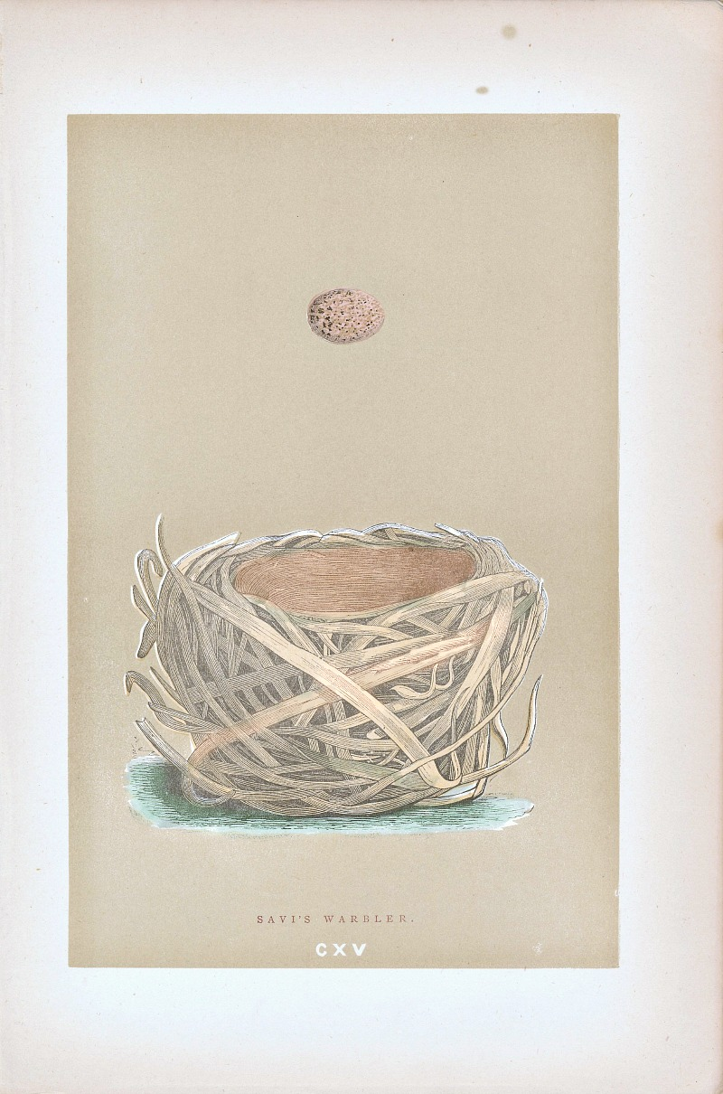 Antique Engraved Nest & Egg Savi's Warbler Print