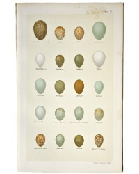 Antique Lithograph Nightingale and Redstart Eggs Print