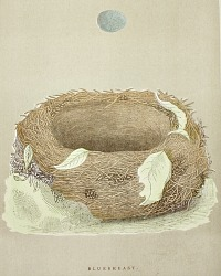 Antique Engraved Nest & Egg Bluebreast Print