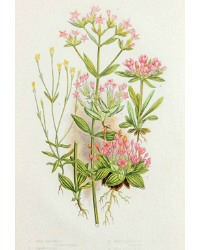Antique Botanical Chromolithograph Print Gentianella