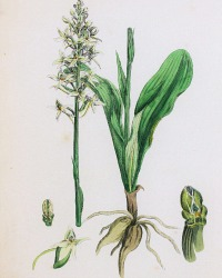 Antique Botanical Hand Colored Engraved Print Butterfly Orchis