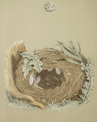 Antique Engraved Nest & Egg Chiff Chaff Print