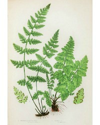 Antique Chromolithograph Botanical Print Dickies Fern
