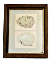 Antique Egg Print in Wood and Gilt Frame 2