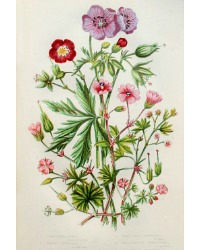 Antique Botanical Chromolithograph Print Meadow Crane's Bill