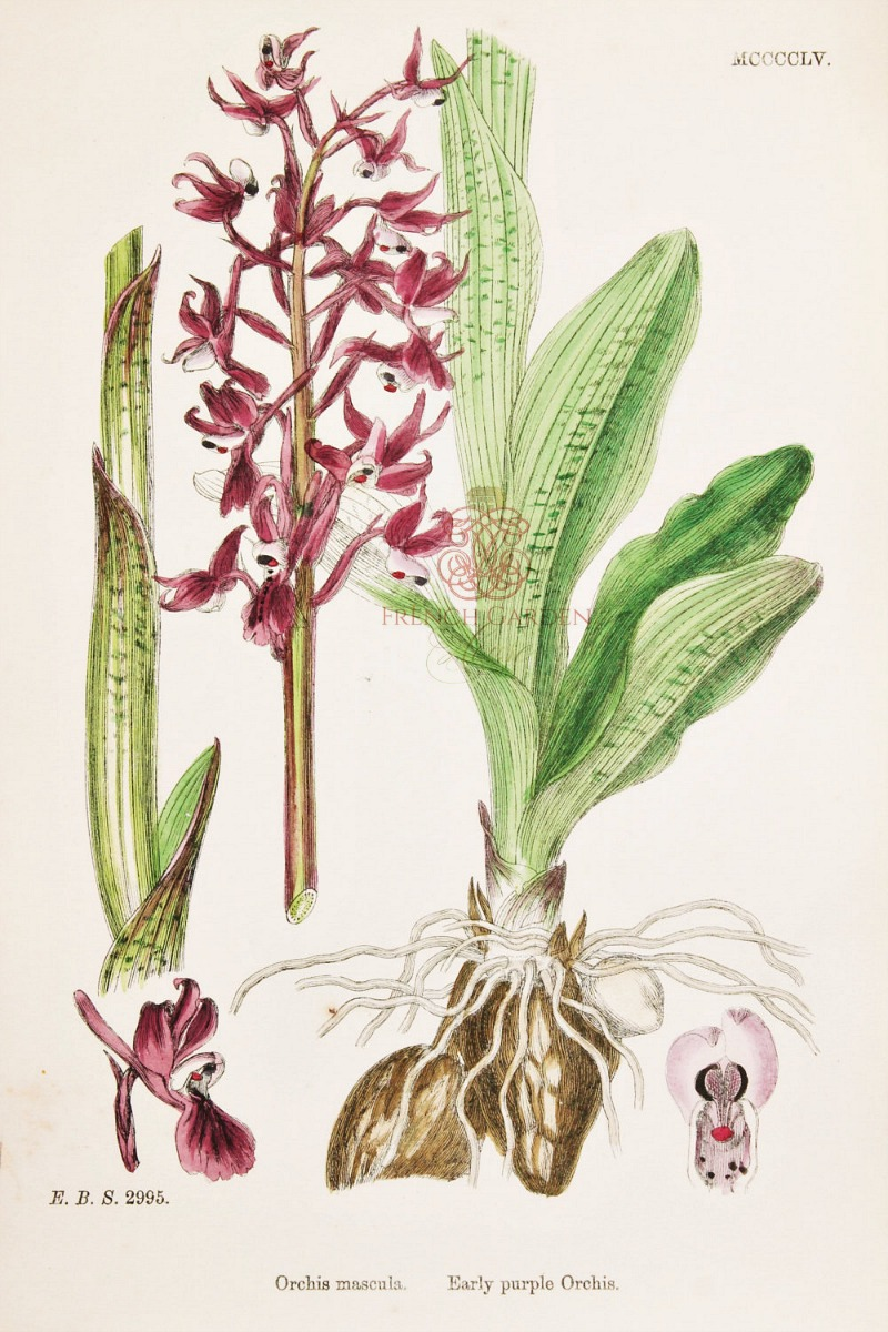 Antique Botanical Hand Colored Engraved Print Early Purple Orchis