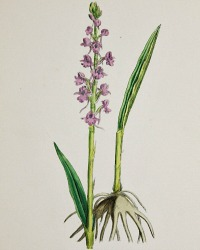Antique Botanical Hand Colored Engraved Print Fragrant Orchis
