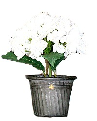 White French Hydrangea in Zinc Planter