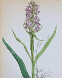 Antique Botanical Hand Colored Engraved Print Marsh Palmate Orchid