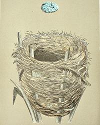 Antique Engraved Nest & Egg Great Sedge Warbler Print