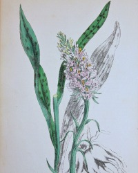 Antique Botanical Hand Colored Engraved Print Spotted Orchid