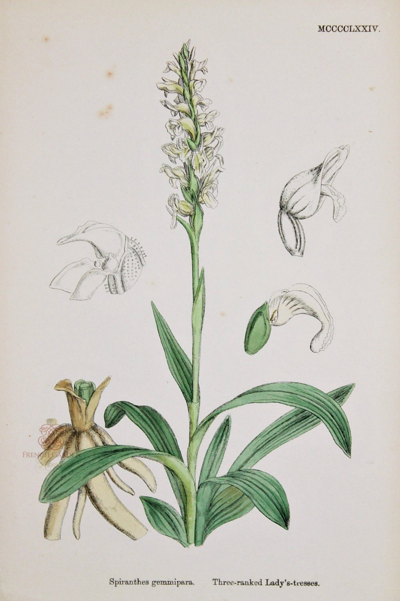 Antique Botanical Hand Colored Engraved Print Lady's Tresses