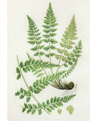 Antique Chromolithograph Botanical Print Lanceolate Fern