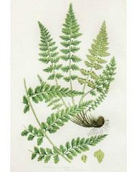 Antique Chromolithograph Botanical Print Lanceolate Fern