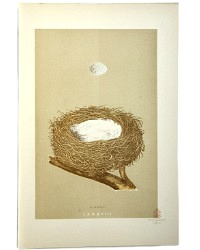 Antique Engraved Nest & Egg Linnet Print
