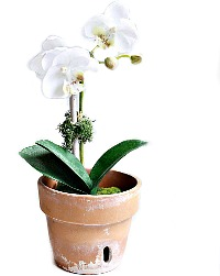 French Elegance White Orchid