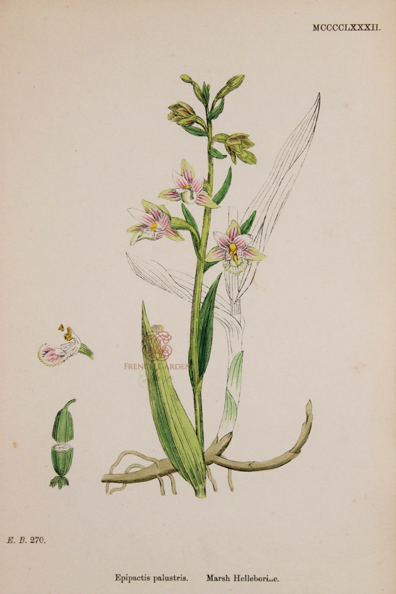 Antique Botanical Hand Colored Engraved Print Marsh Helleborine